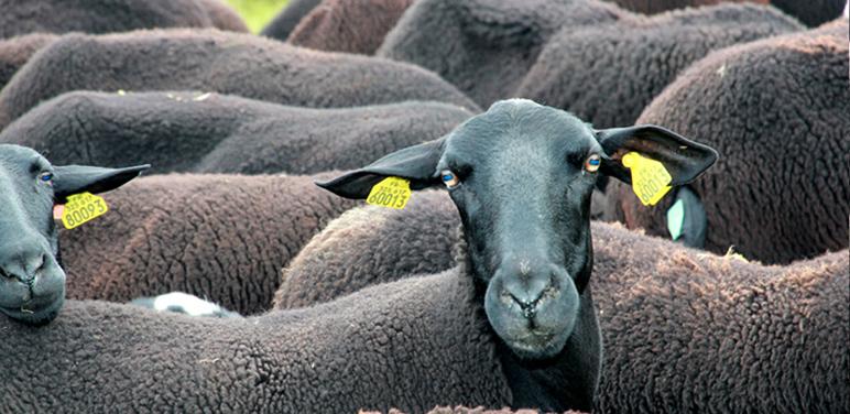 agneau Velay 01
